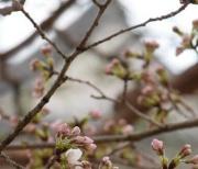 日本樱花包车 2018年日本高知樱花抢先绽放 较2017年年提早14天
