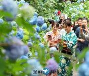 """日本自古便有的紫阳花满开 """"明月院蓝""""在梅雨天绽放"""